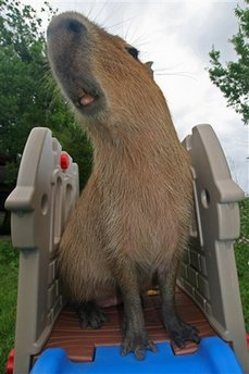 capt_6b24580f644c47ceafc02419a4b7d779_spe_pets_giant_rodent_nyls724.jpg